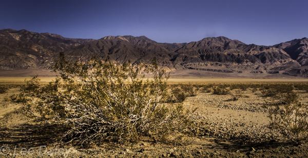 Death Valley National Park, CA. desert shrub behind Panamint Mountain Range.