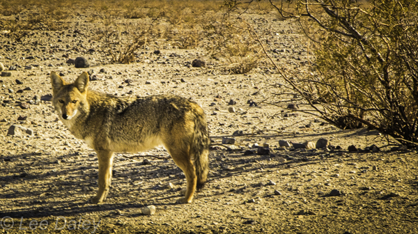 Death Valley National Park. Young coyote looking hopeful at the side of the road, best not to fee the wild animals.