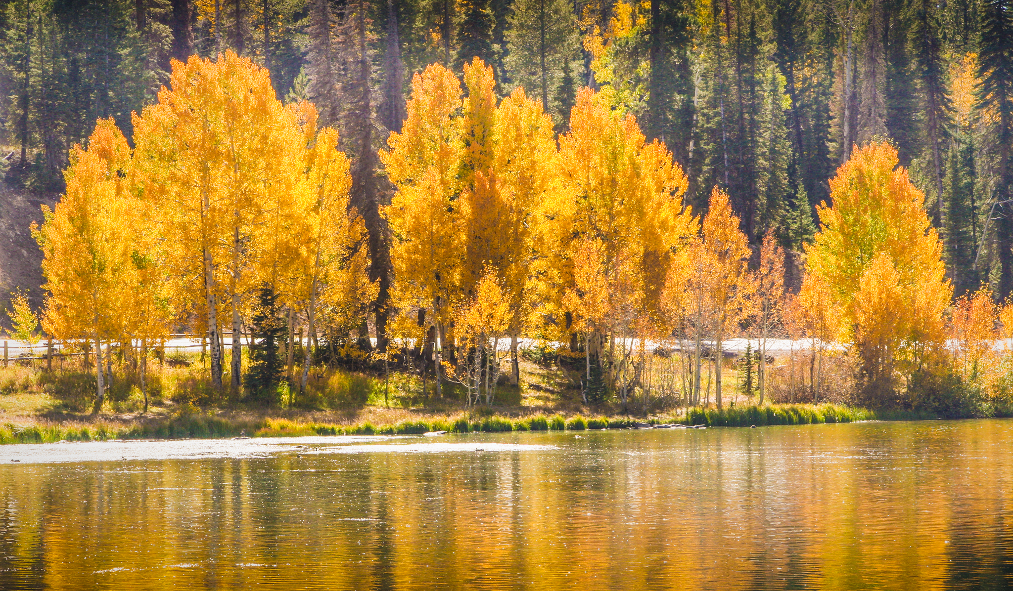 Golden aspens, Finding Fall Color Gold in Zion National Park