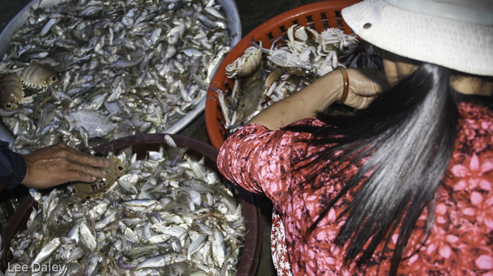 diverse culture of Vietnam, Hoi An, early morning fish catch Hoi An Harbor, Hoi An fresh fish