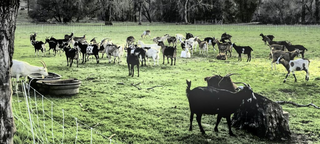 Lake County: Northern California's Sweet Spot, Yerba Santa Dairy, organic goat cheese, authentic Peruvian style goat cheese
