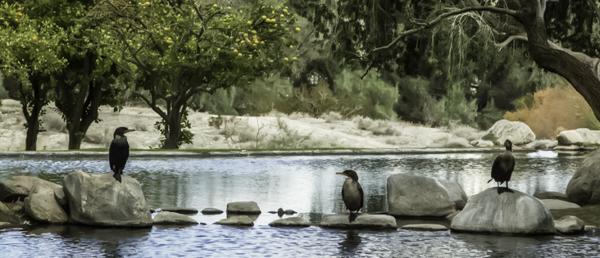 Palm Springs, Two Bunch Palms Resort and Spa, lagoon, blue heron, bird sanctuary, nature walk